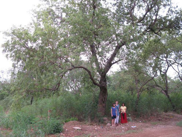 Sundar Nursery Shisham Landmark Trees Of India