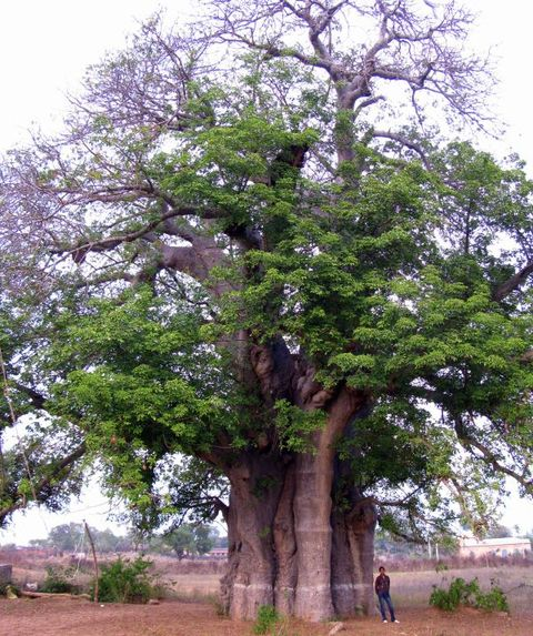 Image of Tree c043