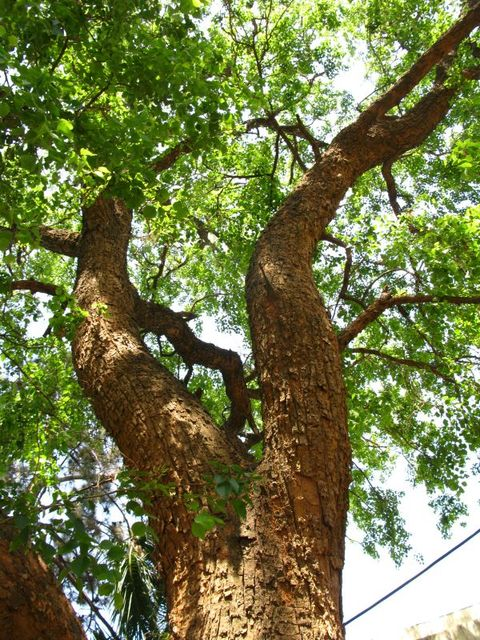 Which Trees Are Used To Make Paper: Landmark Trees Of India
