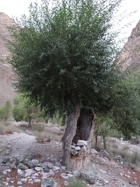 Image of Tree h017