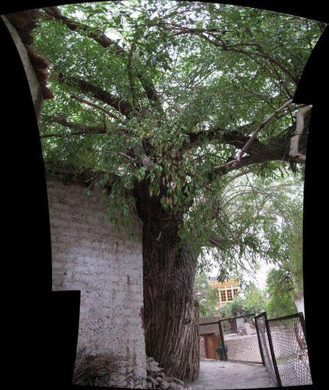 Image of Tree h019