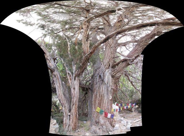 Image of Tree h021