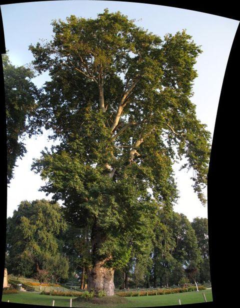 Image of Tree h030