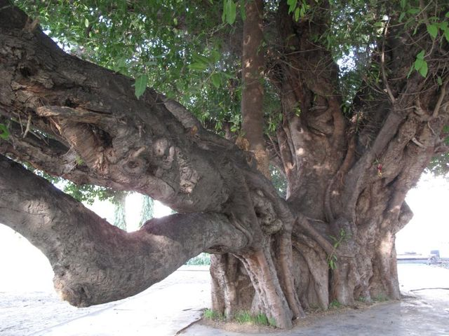 Image of Tree j040