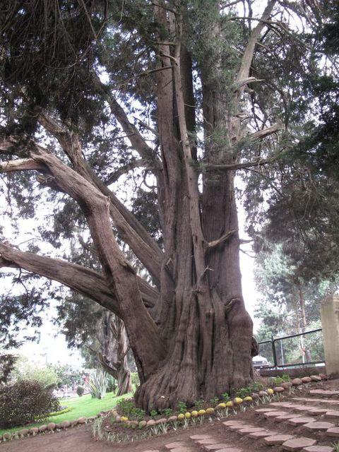 Image of Tree k006
