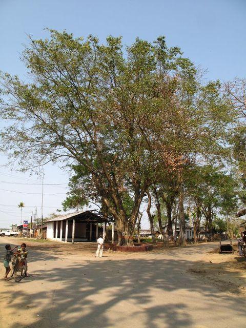 Image of Tree q013
