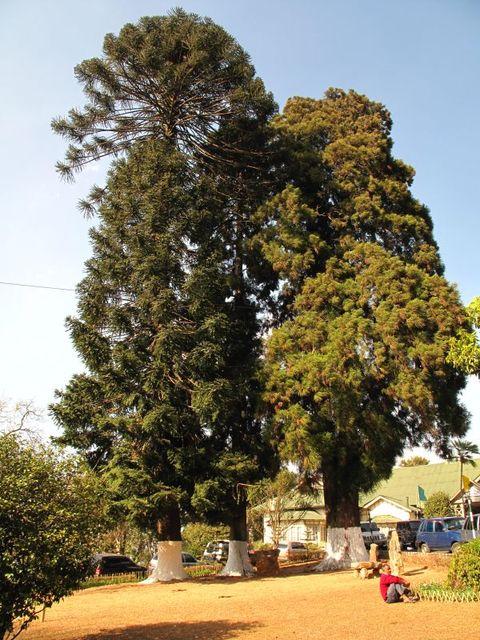 Image of Tree q031