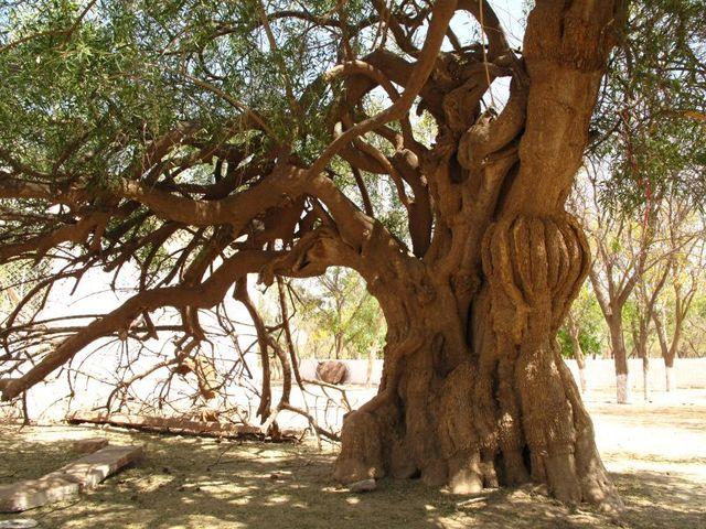 Image of Tree r032